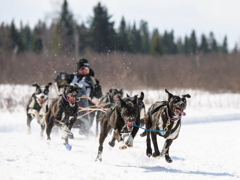 Dogs sledding competition