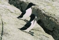 Croisière aux petits pingouins
