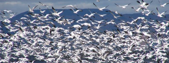 Observation des oies blanches en Côte-du-Sud