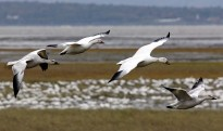 Snow geese in Montmagny and the islands!